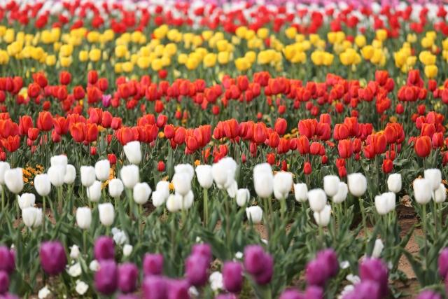 【福岡・パワースポット】近場でお花畑を満喫!内野チューリップ祭り