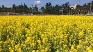 福岡の菜の花が有名なスポット4選