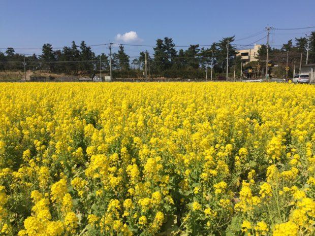 福ふくの里菜の花1