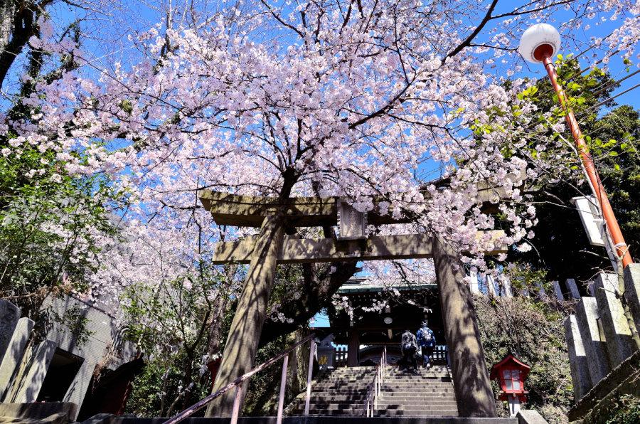 【福岡の桜の名所】福岡西区にある愛宕神社