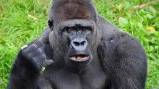 福岡市動物園でゴリラのビンドンが亡くなる