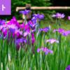 福岡の花菖蒲が鑑賞できる名所一覧を確認してみよう!【福岡県の観光】