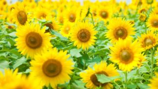 """【福岡・パワースポット】ヒマワリの花に囲まれる""""のこのしまアイランドパーク"""""""