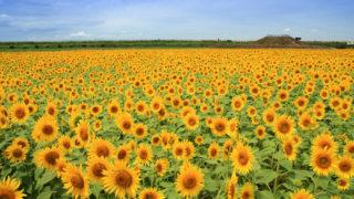 【福岡・パワースポット】「柳川ひまわり園」50万本のヒマワリに囲まれる