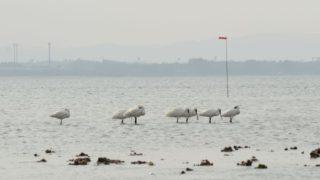 【福岡・自然】博多湾の和白干潟は水鳥の宝庫!博多人工島埋立計画の裏側