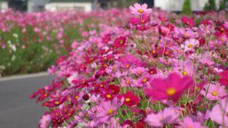 福岡・花の名所「コスモス街道」コスモスフェス開催