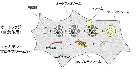 出典:www.cellcycle.m.u-tokyo.ac.jp