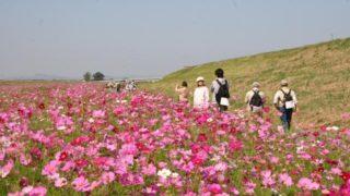 菊池川150万本のコスモス 秋のパワースポット紹介