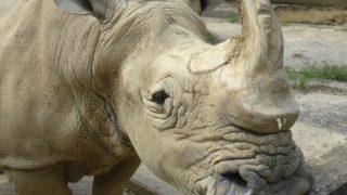 福岡市動物園でミナミシロサイの「ロック」亡くなる