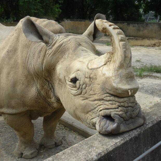 ミナミシロサイのロック 出典:福岡市動物園