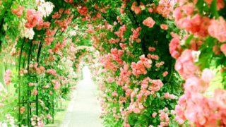 福岡市植物園「秋のバラまつり2018」10月28日は無料開園日