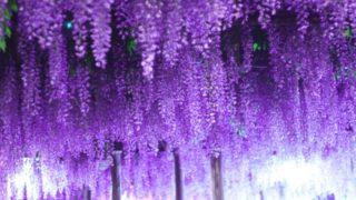 福岡県の藤の名所おすすめ5選!4月中旬からが見頃