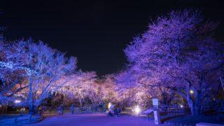 【福岡・舞鶴公園】福岡城さくらまつり2018