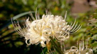 築城町の白い彼岸花は9月中旬から見頃!白い彼岸花祭りも開催