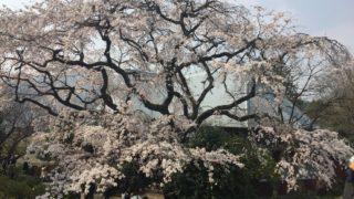 佐賀県神埼市宝珠寺の桜