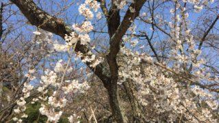 福岡市西公園の桜が見ごろ!3月23日からライトアップ