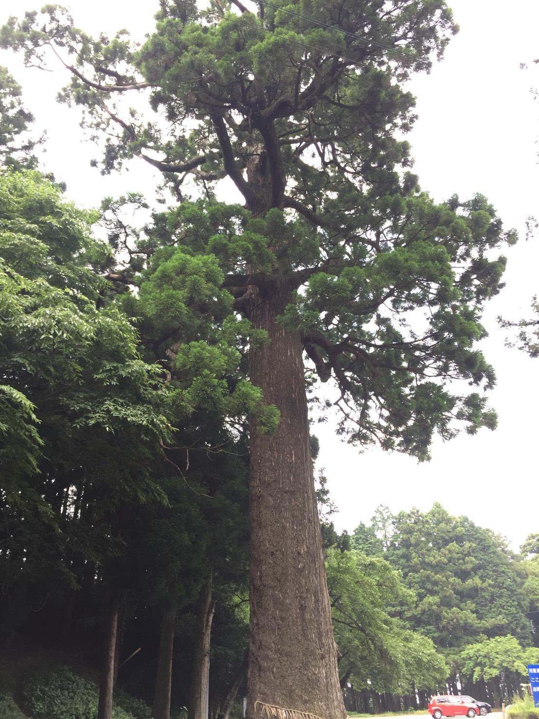雷神社の大杉