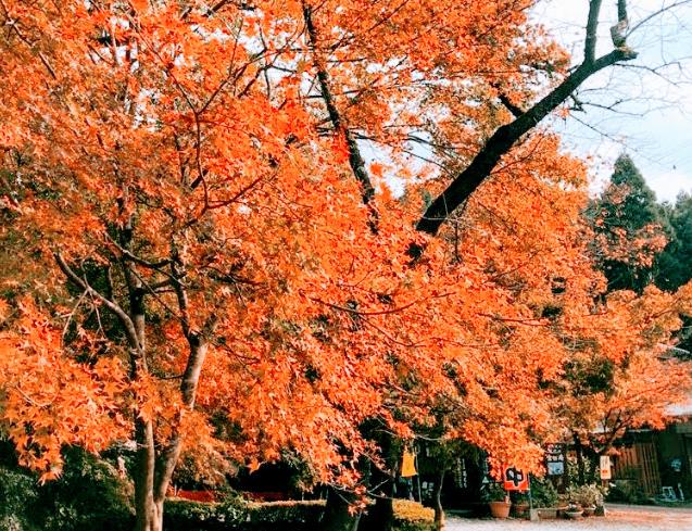 杉の馬場通り 紅葉