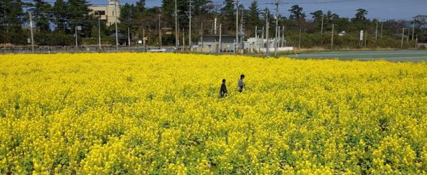 福ふくの里菜の花2