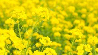 道の駅原鶴で菜の花まつり開催 福岡の菜の花スポット