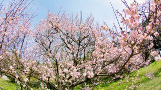 大牟田市「普光寺の臥龍梅」2月下旬からが見ごろ!福岡おすすめ観梅スポット