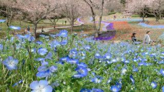 【山口・下関】火の山公園は桜・チューリップが満開